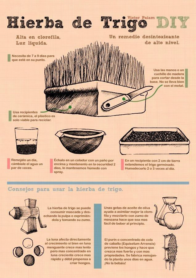 Hierba de Trigo DIY